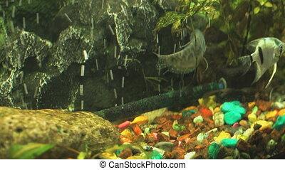 Small fish into aquarium. Close-up - Small fish into...