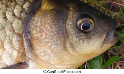 The head is small carp close up 2