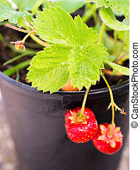 Young Potted Strawberry Plant Already Bearing Fruit - Two...