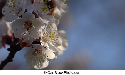 Branches of a blossoming apricot against the blue sky....
