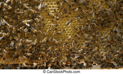 Hundreds of bees on a honey comb pulled out of a hive in a sunny day in summer
