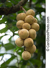 Wollongong fruit on the tree