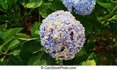 Closeup Light Blue Hydrangea Flowers among Green Leaves -...