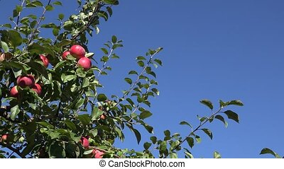 ripe fruity apples hanging at tree twig move in wind on blue...