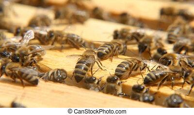 Macro shot of bees seeking something inside of a beehive on...