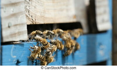 Macro shot of bees entering the hive hole and bringing honey to their honeycombs