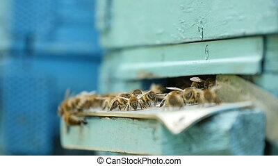 Bees are crawling on a metal rack leading to their beehive in a sunny day