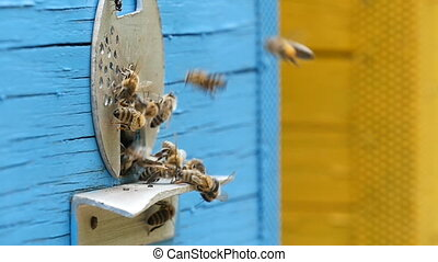 Bees bring honey to their blue hive on an apiary in Ukraine in a sunny day