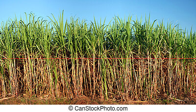 View of sugarcane plantation - Panoramic view of sugarcane...