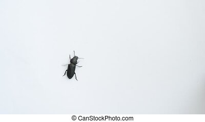 Black beetle crawling on white background - Closeup of black...