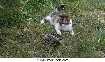 Cat plays with a curled hedgehog outdoors in green field on...