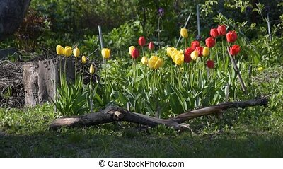 Flower bed with tulip flowers during springtime