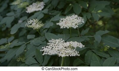 European black elder or elderberry blooming - White flowers...