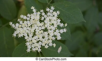 Closeup of European black elder or elderberry blooming -...