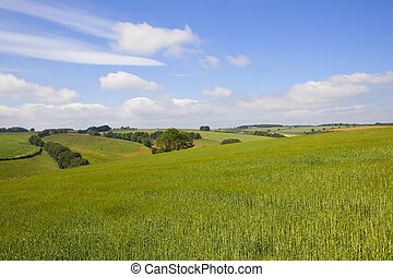 yorkshire wolds barley - scenic barley fields in the...