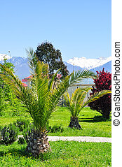 palm trees on the background of snowy mountains in the Adler...
