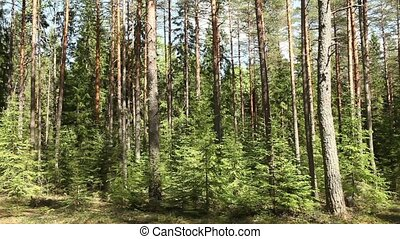 Pine forest in summer - mysterious Pine forest in summer...