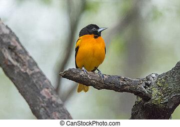 Baltimore Oriole - Close up photo of a Baltimore Oriole bird...