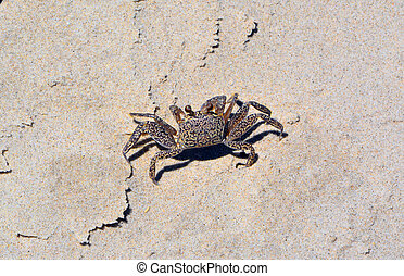 Sand Crab Close up - Close up of tiny sand crab with...
