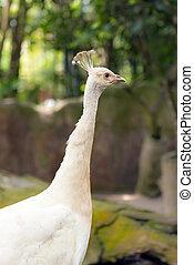 Albino white peacock - Close up of albino white peacock in...