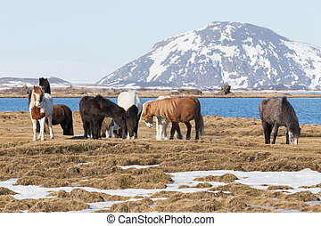 Icelandic horses with mountain background, farm animal in...