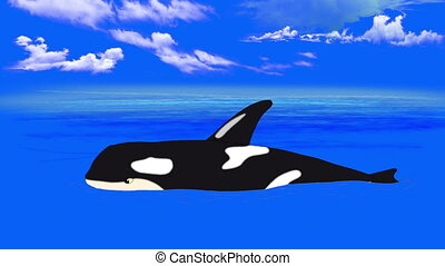 Killer Whale in the Water - Killer Whale in the Blue Sea....