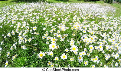 Field with white daisies - Walking in the field with white...