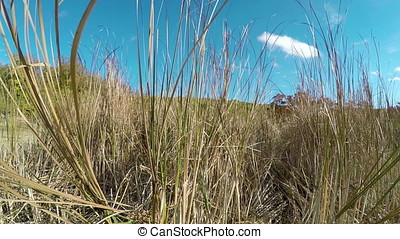 Dry swamp cane and blue summer sky