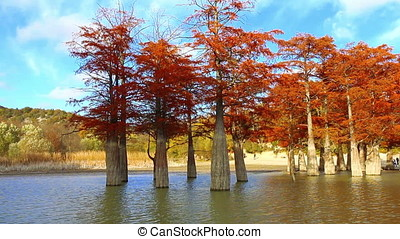 Swamp cypresses on lake
