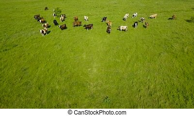 Flying over green field with grazing cows. Aerial background...