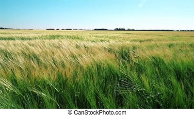 Field of Wheat Swaying in the Wind