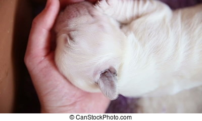 Sleeping newborn puppy golden retriever