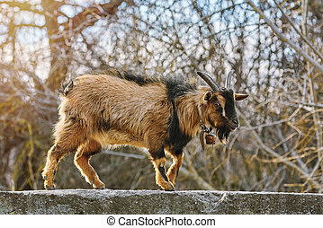 Goat on Parapet Wall - Goat Walking by the Parapet Wall