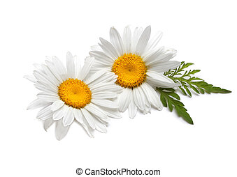 chamomile on a white