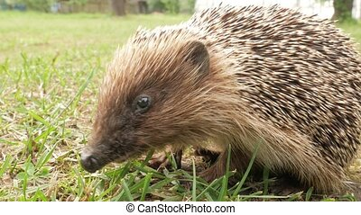 A wild hedgehog is eating pieces of meat on the grass in the garden. Close-up