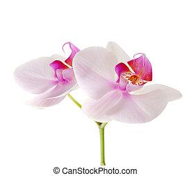 orquídea, flor, blanco