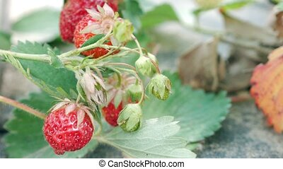 Berries of strawberries grow on a bed. Close-up. The concept of growing a healthy meal