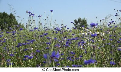 cornflower and daisy flowers and bees collect nectar from...