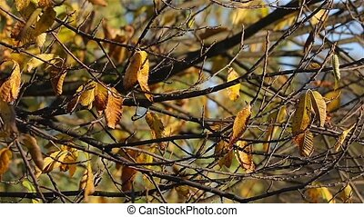 Autumn tree detail - Autumn leaves in soft breeze, slow...