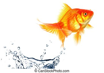 goldfish jumping with water splash isolated on white...