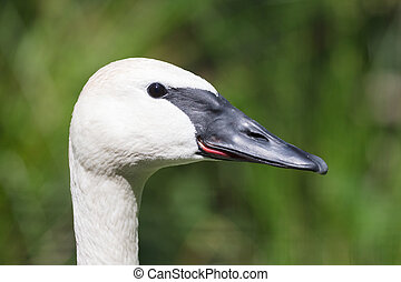 Closeup of a trumpeter swan (cygnet), selective focus