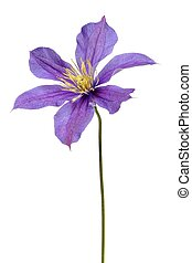 Clematis flower on white