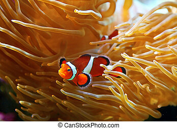 Clown fish in the sea