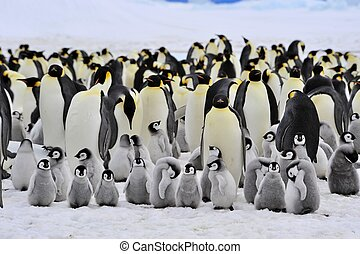 Emperor Penguin Snow Hill, Antarctica 2010 on the icebreaker...