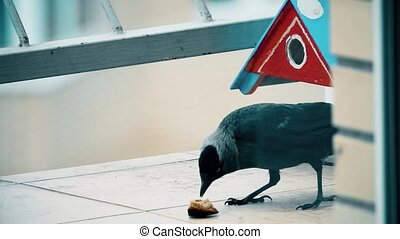 Slow motion shot of jackdaw pecking bread - Slow motion shot...