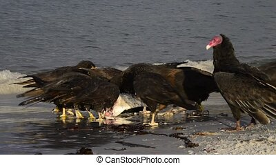 Turkey vulture in Falkland islands - Turkey vulture eating...