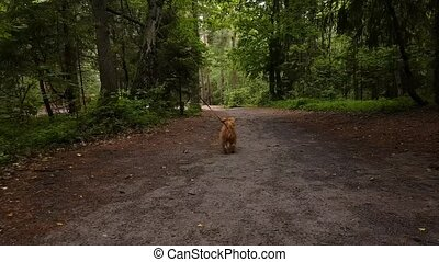 Dog breed Bruxellois Griffon walking in a wood - Dog breed...