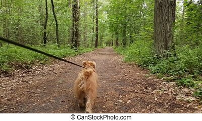 Dog breed Bruxellois Griffon walking in a wood