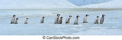 Emperor Penguin chicks Snow Hill, Antarctica 2010 on the...
