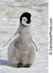 Emperor Penguin chick Snow Hill, Antarctica 2010 on the...